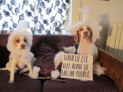 dogshaming:  Maymo & Penny Pillow FightMaymo the lemon beagleand his sister Penny engage in pillow fighting tournaments when they are…View Post