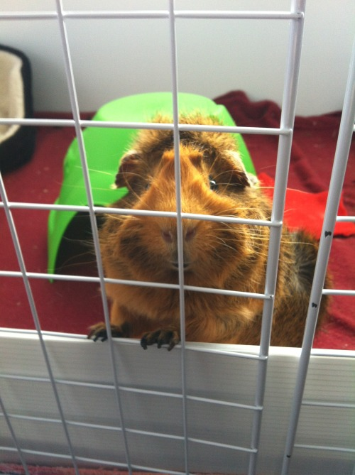 guineaskinnypigs:  Hey there