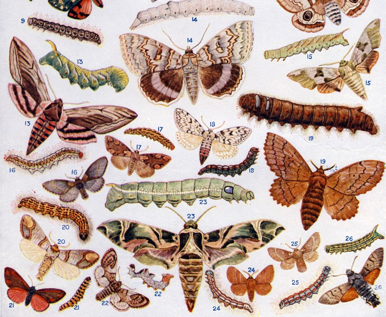 Detail British Moths and their Caterpillars. Arthur Mee ed., The Children's Encyclopedia, (London: The Educational Book Company, circa 1920).