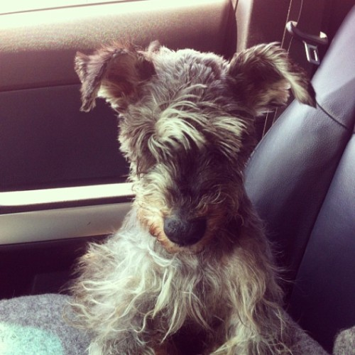 Clot feliz con el aire en la cara:) ^.^ #clot #animal #pet #schnauzer #goodmorning #driving #drive #dog #dogsofinstagram #love #nature #knowingtheworldthroughnature