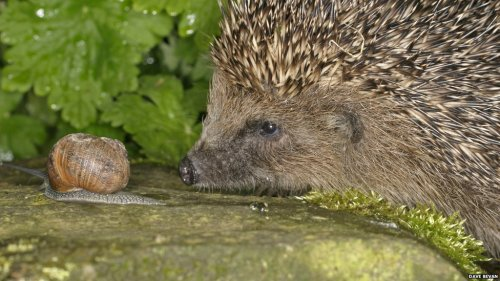 rhamphotheca:  BBC Nature:  Hedgehog Hibernation Survey is launched The health of UK hedgehogs is the focus of a survey launched this month by the People's Trust for Endangered Species (PTES) and the British Hedgehog Preservation Society. The survey began amid concerns that the spiny mammals are facing a serious decline in the UK… (read more)                                                   (photo: Dave Bavan)