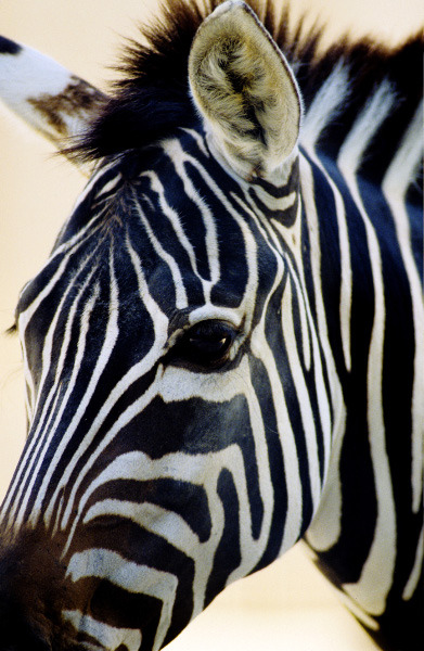 eqiunox:  Zebra by ~Art-Photo