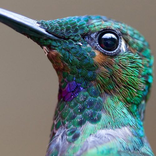 """crossconnectmag: Vivid Hummingbird Close-ups Reveal Their Incredible Beauty When it comes to birds, the terms """"strong"""" or """"beautiful"""" might inspire images of fierce eagles or decadent tropical parrots. But both of these birds will certainly find strong contender in hummingbirds, which possess a unique sort of delicate beauty and a mastery of avian maneuvers like no other. We created this list of 20 stunning hummingbird photos to show you just how beautiful they can be. Capturing a photo of a hummingbird in flight with clearly focused wings can be very difficult, as some varieties are capable of beating their wings up to 52 times a second. This gives them the ability to hover and fly backwards – something that few other birds can do and that none have mastered the way the hummingbird has. viaBoredpanda  && – Cross Connect Mag//Facebook-Flickr-Twitter"""