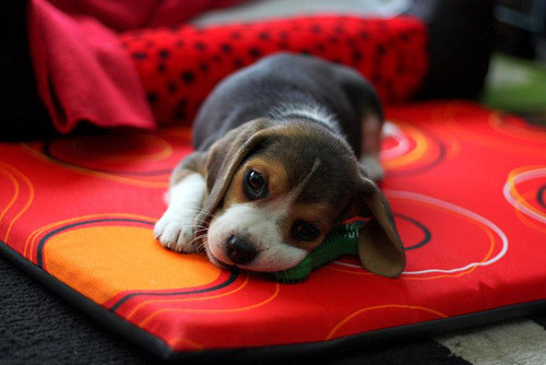 i want a beagle.. i do a lot… wanna come w/ me honey?