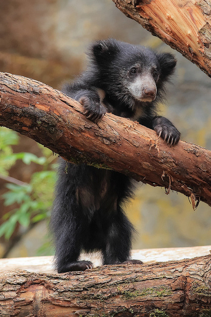 theanimalblog:  Sloth Bear Cub. Photo by bethkeplinger