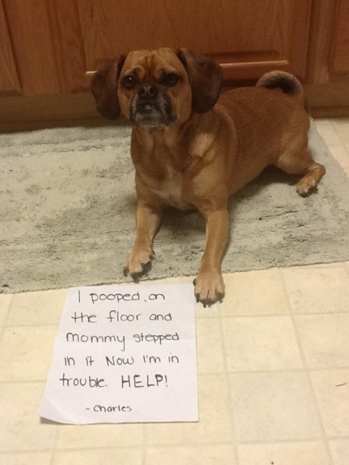 dogshaming:  Charles Puggle  My dog pooped on the floor right after he was let in from being outside!  View Post