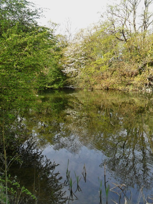 Spring reflections in the lake at Park Lime Pits, Aldridge, Walsall, England All Original Photography by http://vwcampervan-aldridge.tumblr.com