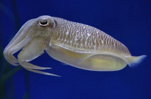 Planning a visit over spring break? We just added some pharaoh cuttlefish to our Splash Zone exhibit. It's amazing to watch them hover just above the ocean floor and hunt food with their long tentacles. They're visitor faves! Learn more about the pharaoh cuttlefish.
