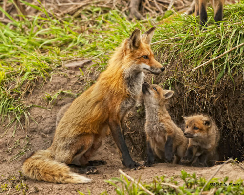 paganroots:    Mother and Kits by *Les-Piccolo
