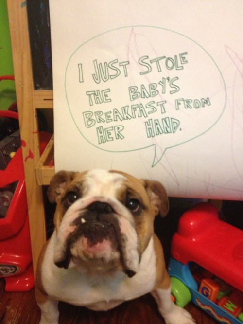 dogshaming:  Just like stealing breakfast from a baby!  I just stole the baby's breakfast from her hand.  View Post  That face.