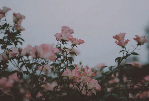 janeantlers:  Dark Roses by Jane Antlers in Edits on Flickr.