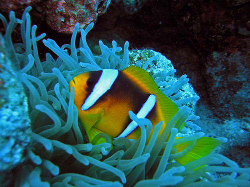 Clownfish (Red Sea) by alfonsator on Flickr.