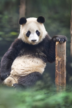 journeyearth:  Portrait of a panda by David Hobcote
