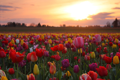 citric-fruits:  Tulip Fields, Oregon Sunset. by pyro 303 on deviantart.com