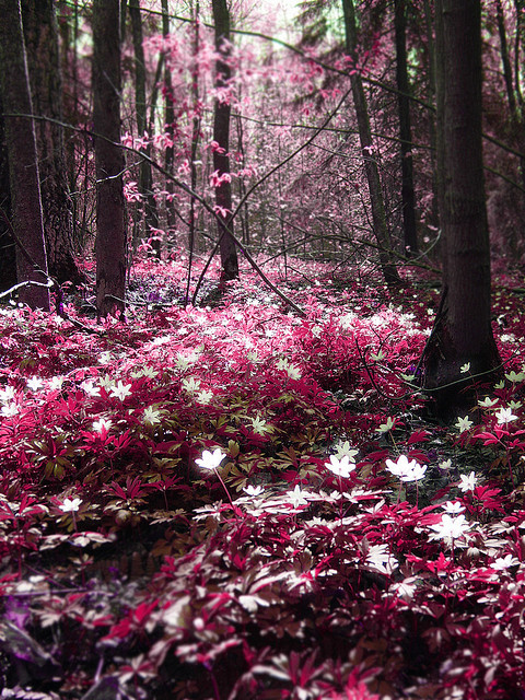 mykindafairytalee:  Magic forest: Pink by Sameli on Flickr.