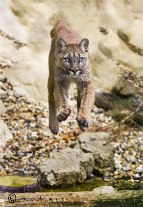 llbwwb:  Cougar Leap by Bigcatphotos.