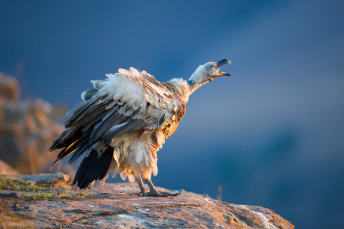 animals-animals-animals:  Cape Vulture (by Mark Dumbleton)