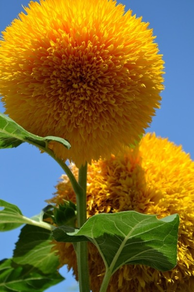 flowersgardenlove:  Teddy bear Sunflower Flowers Garden Love