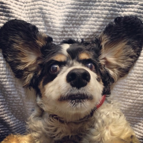 woodythedog:  Dumbo ain't got nothing on me and my ears.