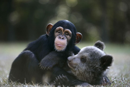 "magicalnaturetour:  ""Friendship bear and chimpanzee ~ Unexpected friendships have a couple of guests Zoo Myrtle Beach Safari park, South Carolina, USA. The five-month grizzly bear named Bam Bam and chimpanzees Wali play and grow up together, enthralling visitors to the park. As soon as the friends grow up, they will go into the natural habitat: Bam Bam in North America, and the Wali in the jungle of southern Africa. Photos by Barry Bland/Rex Features"