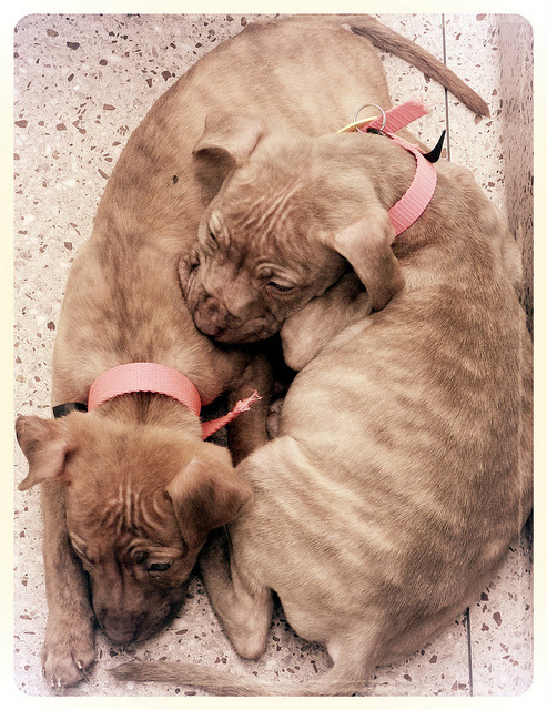 Love (Pitbull puppies in PSPCA shelter (Hunting Park)) (by Laura Swartz pompomflipflop)