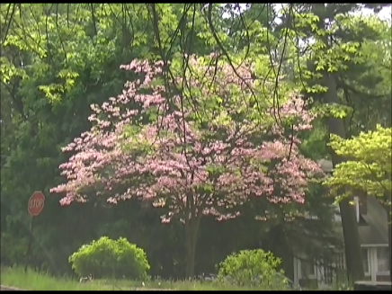 video frame from home movies/notes.    —- pink tree —-