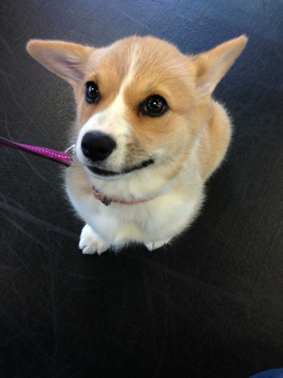 "corgiaddict:  gatsbyadventures:  Scout's first day at Puppy Preschool went well. She learned the ""name game"" (you call her name, and if she looks, you click & then treat), ""watch"", and ""sit."" Towards the end, she got to go on the A-frame (sort of a confidence building exercise). She went up and down just fine. No fear. There's this one guy there though who was pretty annoying. Here's a sample conversation: Dumb Dude: ""What's your puppy's name?"" Us: ""Scout."" Dumb Dude: ""How old is he?"" Us: ""oh, she's actually a girl, and she's 11 weeks tomorrow."" Minutes later… Dumb Dude: ""Where's his tail?"" Us: ""She doesn't have one.""  Dumb Dude: ""oh, poor Scott. Wait — is his name Scott or Scoudge?"" ""Scoudge""? REALLY? Ugh. Keep in mind that this guy heard us many times during class say ""Scout"" and ""good GIRL, Scout!"" Yet, at the end, he still called her ""Scott."" Even the trainer was like, ""uh, you mean Scout? Her name is Scout.""  Scout should shoot him one of her many looks of disapproval."