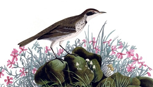 Detail of Plate 80 of The Birds of America by John Audubon, the Prairie Titlark, now more commonly called the Water Pipit. This is another one of those 'little brown birds' that don't wow people, but this painting does demonstrate Audubon's talent for showing how extraordinary the ordinary can be.