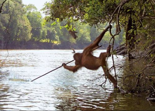 Orangutan in Borneo Photographed Using a Spear Tool to Fish