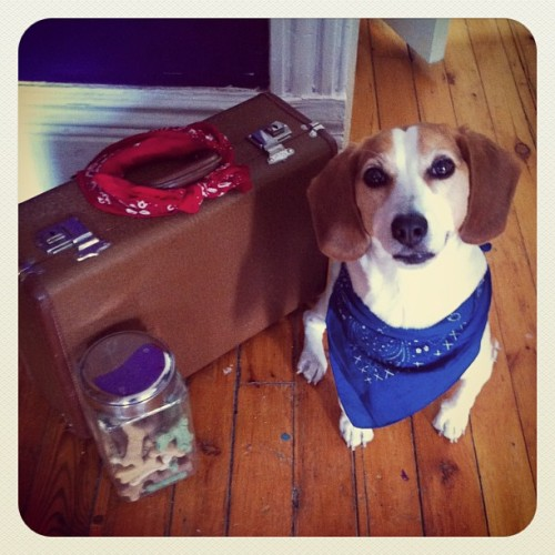 All his bags are packed, he's ready to go… #beagle