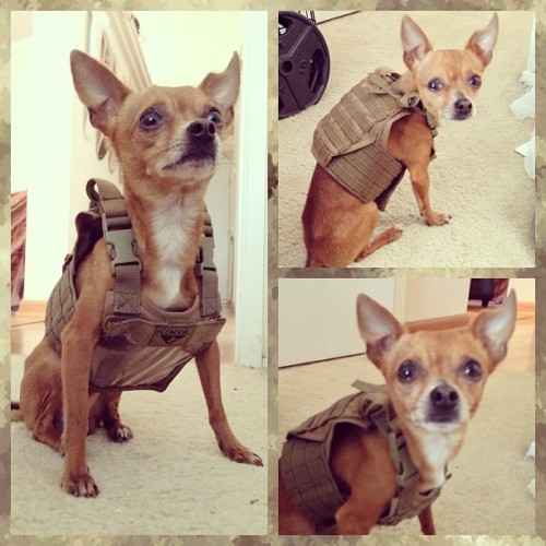Tactical Chihuahua! Buñuelo   Is wearing a tan Condor / OE TECH Mini Exo Plate Carrier ID Panel and ready for tacticool dog action!