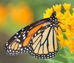 As they wing their way across North America, millions of migrating monarch butterflies form a living river of orange. In this episode, the second of two podcasts on monarchs, we'll meet citizens young and old who are dipping a toe in that river in the name of science and of beauty. Listen to the podcast Watch the Monarch Butterflies Eastern Migration Google Earth Tour Video También puede ver este vídeo con subtítulos en español aquí. Photo: © Ted Kropiewnicki CC-BY-NC-SA Supplier: Tree of Life web project Location Created: Bear, Delaware, USA View source