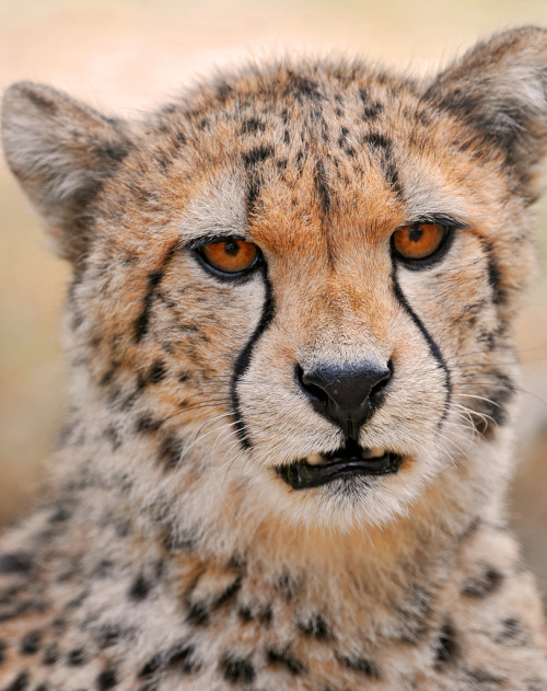 mystic-revelations:  A new cheetah portrait. (by Tambako the Jaguar)
