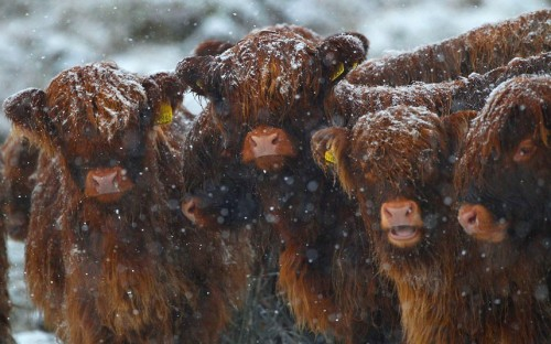 allcreatures:  Crianlarich, Scotland Picture: REUTERS/David Moir (via Pictures of the day: 14 December 2012 - Telegraph)