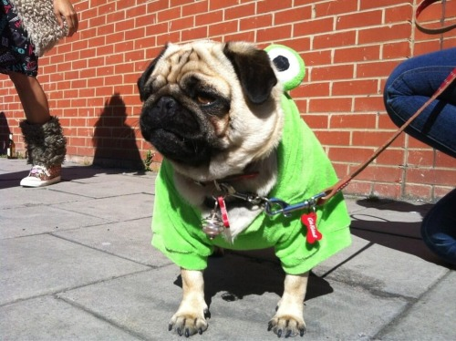 sybilthepug:  She. Made. Me. Wear. A. Frog. Suit.
