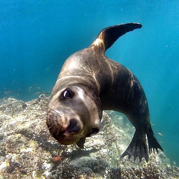 #sealion #diving #lapaz