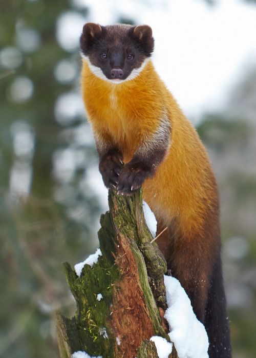 earthsfinest:  Yellow-throated marten by Markus Söhlmann