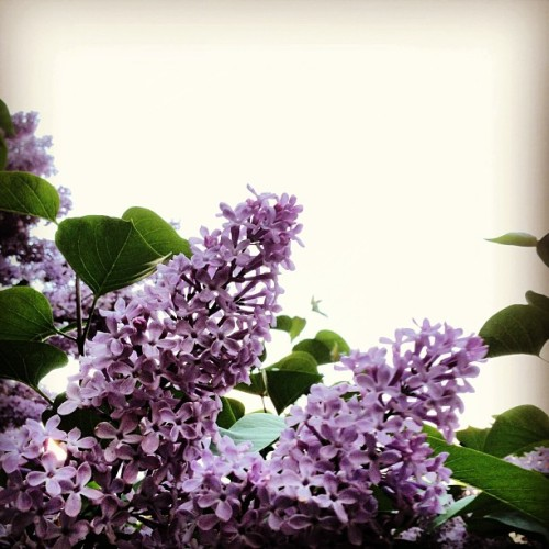 School is over and spring is in the air #lilac #summer #sky #schoolsover