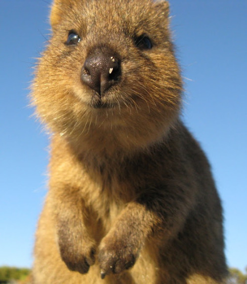 Happiest Animal In The World-Quokka