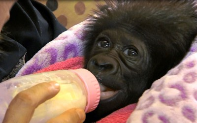 A four-week-old, female, baby gorilla born at the Gladys Porter Zoo in Texas has been transported to Cincinnati Zoo in Ohio.  Picture: Cincinnati Zoo / Rex Features