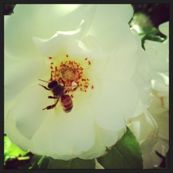 Le bee en rose  (at MacArthur Place)