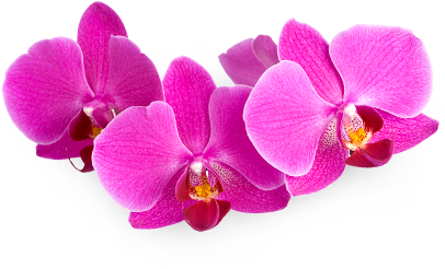 transparent-flowers:  Orchidaceae.