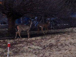 Went deer watching tonight and saw 58 deer & 2 wild turkey's in my relatives' hood tonight! Totally amazing!