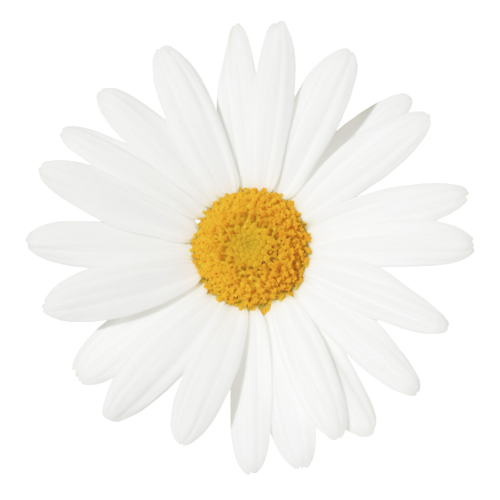 tra-nsparent:  semi-transparent daisy- petals will (hopefully) match the color of your blog!