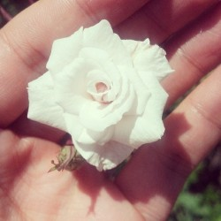 Mini rose #flower