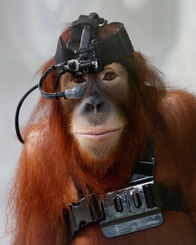 Sumatran orangutan Tsunami wears eye tracking equipment at Malaysia's National Zoo in Kuala Lumpur. A team from the University of Nottingham Malaysia Campus, led by neuroscientist Dr Neil Mennie, is studying the eye movements of the seven-year-old orangutan to explain some of the mysteries of the visual brain and improve the lives of captive-bred animals.  Picture: REUTERS/Bazuki Muhammad (via Pictures of the day: 10 December 2012 - Telegraph)