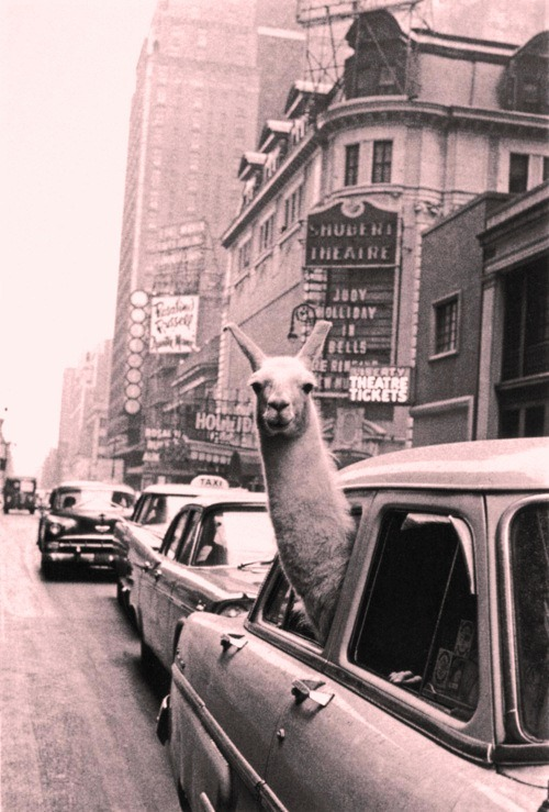 Whatcha looking at honeh? =p #llamainacar #goingforaride