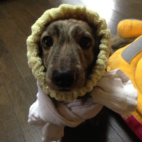 thefluffingtonpost:  PHOTO OP: Cozy Pup Via @0215hana.