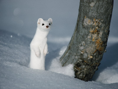 moon-glitch:  Stoat appreciation post. Coz they so cute.