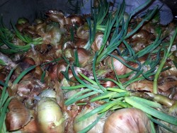 Sprouted Onion Bulbs, Vegetable - Public Domain Photos, Free Images for Commercial Use